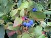 heidelbeere-hortblue-fruechte.jpg