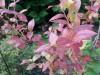 heidelbeere-hortblue-herbstlaub.jpg