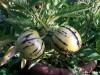 melonenbirne-pflanze-und-frucht.jpg